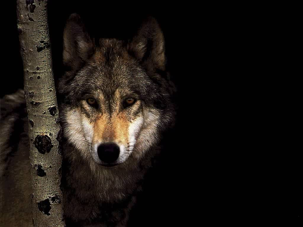 Lone Wolf Poems The Lone Wolf is a Spiritual