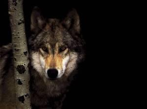 wolf-ing_00346402